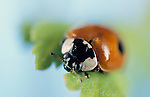 2 Spot Ladybird, Adalia bipunctata, red with black spots, on green leaf, blue background, soft focus, face, eyes, mandibles, two.United Kingdom....