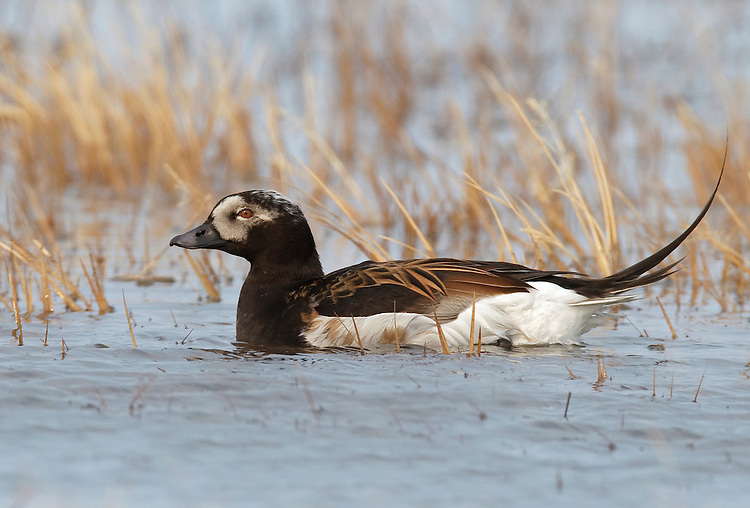 Long-tailed Duck - Clangula hyemalis - breeding male
