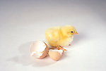 Newly hatched chick<br />