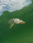 A Snook swim down the beach in the Atlantic Ocean off of South Florida. The Centropomidae are a single genus family of freshwater and marine fishes in Order Perciformes, including the common snook or róbalo, Centropomus undecimalis. Prior to 2004, three other genera were placed in Centropomidae in subfamily Latinae, which has since been raised to the family level and renamed Latidae because a cladistic analysis showed the old Centropomidae to be paraphyletic. Each of the four species (fat, swordspine, common, and tarpon) can be easily identified by their lateral black line. They are good tablefare, and are a sought after gamefish but tricky to catch.Dating from the upper Cretaceous, the centropomids are of typical percoid shape, distinguished by having two-part dorsal fins, a lateral line that extends onto the tail, and, frequently, a concave shape to the head. They range from 35 centimetres (14 in) to 120 centimetres (47 in) in length and are found in tropical and subtropical waters. (Jason Arnold/RRA-MEDIA)