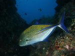 Big Mushroom (Shi Lang), Green Island -- Bluefin Trevally, Caranx melampygus.