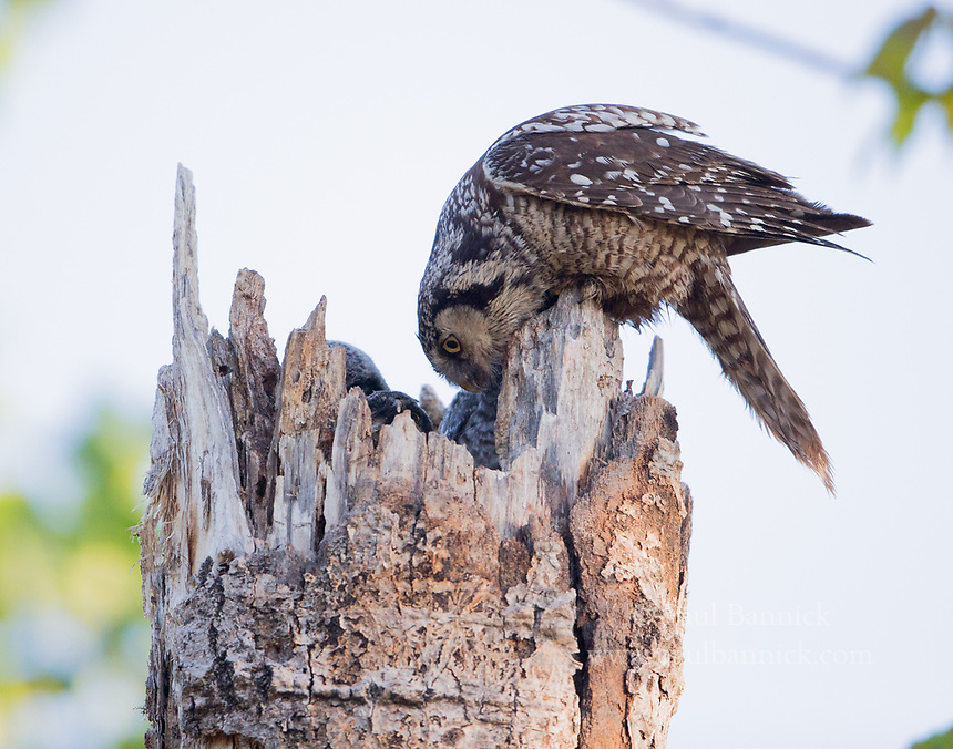 A female Northern Hawk Owl looks for pellets to remove from the nest.