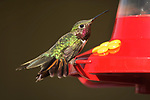 Broad-tailed hummingbird, Crested Butte, Colorado