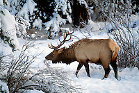 Mount Robson Provincial Park, Canadian Rockies, BC, British Columbia, Canada - Bull Elk, Wapiti (Cervus canadensis) grazing in Snow
