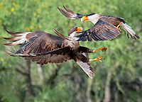 a pair of Northern Crested Caracara, Caracara cheriway, in a fight. Texas, USA