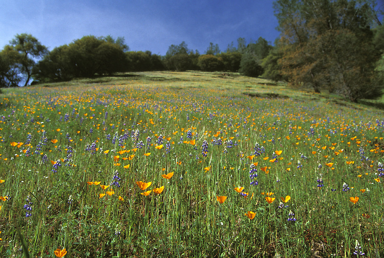California State Poppies and Lupine in a field, Mendocino, California