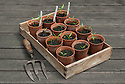 Chilli pepper seedlings in terracotta pots.