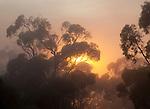 sunrise, fog and gum forest, Mount Remarkable National Park, South Australia, Australia