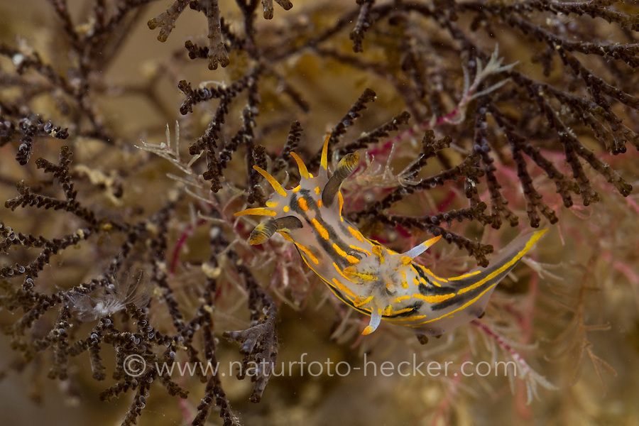 Gestreifte Hörnchenschnecke, Polycera quadrilineata, Polycera lineatus, Thecacera capitata, Doris quadrilineata, fourline nudibranch, limace à quatre lignes, marine Nacktschnecke, marine Nacktschnecken, sea slug, sea slugs, Nudibranchia, Nudibranch, Opisthobranchia