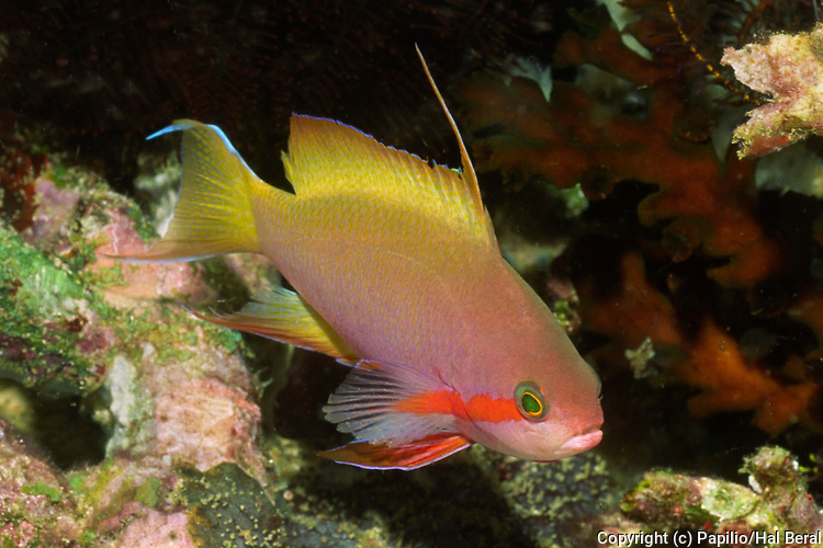 Threadfin Anthias.(Pseudanthias huchti).Solomon Islands