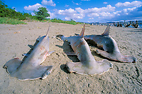 juvenile scalloped hammerhead sharks, Sphyrna lewini, fished for fins and meat shark fishery, Bahia de la Paz, Baja, Mexico, Sea of Cortez, Pacific Ocean