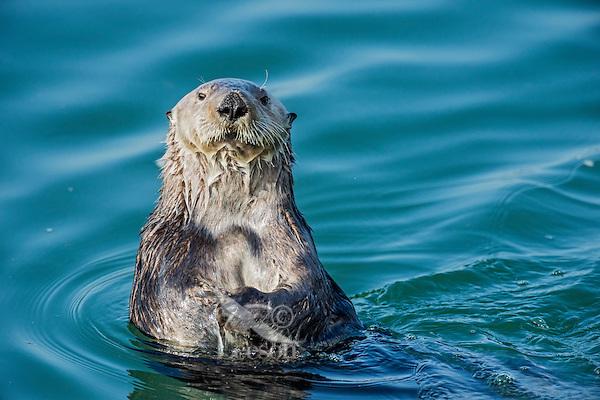 Southern Sea Otter (Enhydra lutris nereis).  Central California Coast.