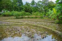 Thailand, Mae Hong Son. Fern Resort. Rice field.