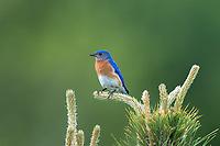 Eastern bluebird - male