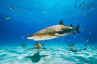 lemon sharks, Negaprion brevirostris, with sharksuckers, Echeneis naucrates, and blue runner jacks, Caranx crysos, West End, Grand Bahama, Bahamas, Caribbean Sea, Atlantic Ocean