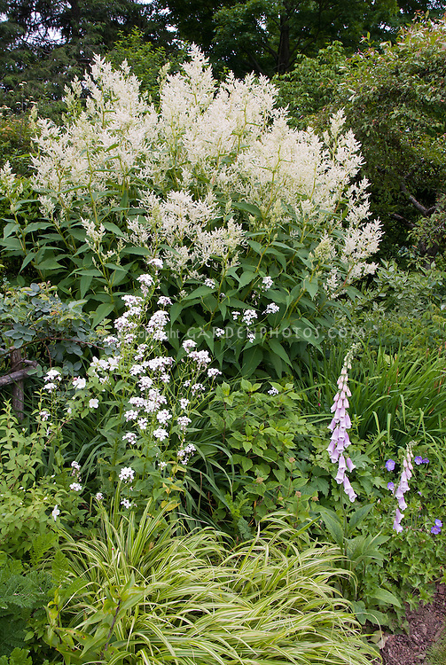 Hesperis, Digitalis, Persicaria polymorpha Giant fleeceflower in bloom