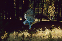 Great gray owl flying thru forest recently burned by fire.