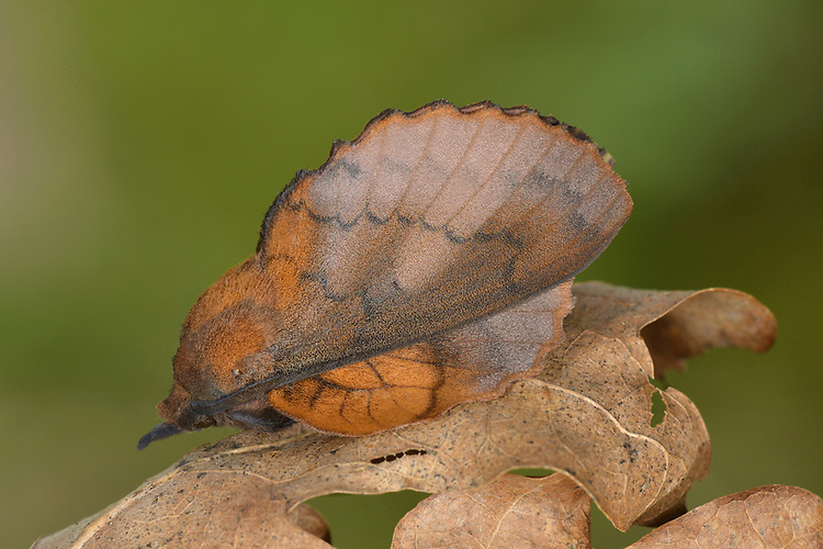 The Lappet Gasteropacha quercifolia Length 40mm. An amazing moth whose colour, and wing shape and pattern, make it look like an autumn leaf. Adult has reddish wings with scalloped margins; the palps on the head project as a 'snout'. Flies June–August. Larva is among the largest in Britain (up to 10cm long); feeds on Hawthorn and superbly camouflaged when resting lengthwise along twig. Common only in southern England.