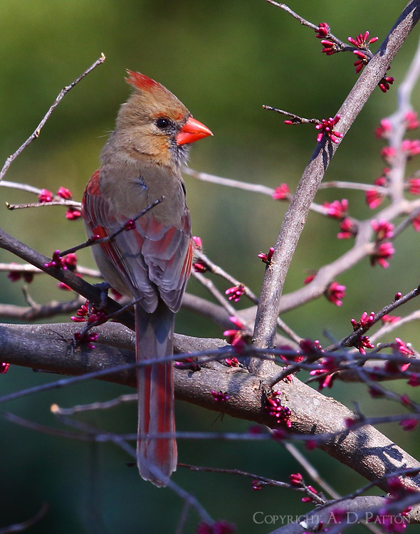Female northern cardinal in redbud tree