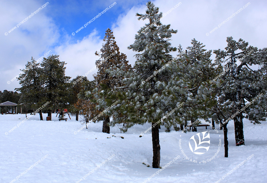 Snow-laden trees standing at a slope at Troodos mountains in Cyprus.