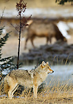 A coyote stands in the foreground of this photo, while a herd of elk graze unconcerned in the background.  This site will be less peaceful in a few short weeks once the elk have their calves.  Jasper National Park, Alberta, Canada, winter 2012.  Photo by Gus Curtis.