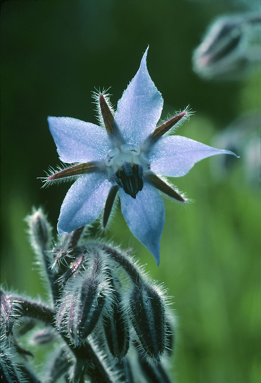 BORAGE Borago officinalis (Boraginaceae)  Height to 30cm<br /> Robust and bristly annual. Found growing on disturbed ground and sometimes on roadside verges. FLOWERS are 20-25mm across, the 5 blue petal-like corolla lobes alternating with purplish calyx teeth; note also the projecting column of anthers (May-Jul).  FRUITS are nutlets. LEAVES are oval; lower ones are stalked, upper ones clasp the stem.