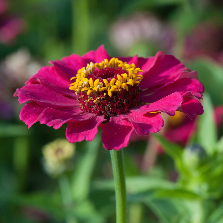 Zinnia elegans 'Cupcake Mix', late September.