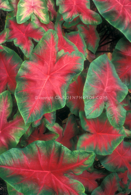 Caladium bicolor, red and green foliage plant houseplant tropical tender bold leaves
