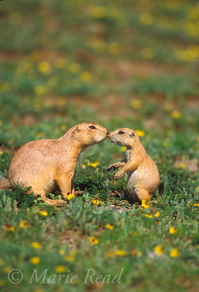Black-tailed Prairie Dogs (Cynomys ludovicianus), adult (left) and youngster interacting, Wichita Mountains National Wildlife Refuge, Oklahoma, USA<br /> Slide # M14-634