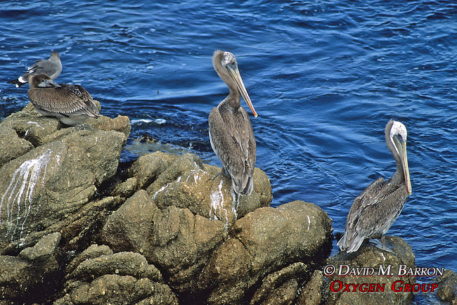 Pelican / Point Lobos