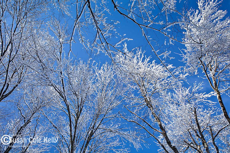 Frosted treetops in Mason, NH, USA
