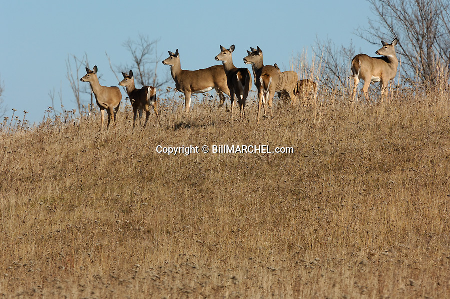 00275-193.18 White-tailed Deer (DIGITAL) group of does and fawns are on hill side in field or meadow during fall.  H1E