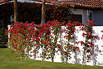 BOUGAINVILLEA 'SAN DIEGO RED' NEWLY PLANTED ALONG WHITE WALL