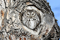 An Eastern Screech Owl is almost undetectable in a knot hole cavity of a cottonwood tree near Denver, Colorado.