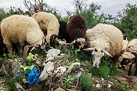 Albania. Gjirokastër. Plastic pollution on the banks of the Drino river. Sheeps eat grass and plastic. Gjirokastër is a city in southern Albania on a valley between the Gjerë mountains and the Drino, at 300 metres above sea level. 23.05.2018 © 2018 Didier Ruef