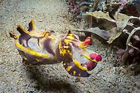 flamboyant cuttlefish, Metasepia pfefferi, Philippines, Pacific Ocean