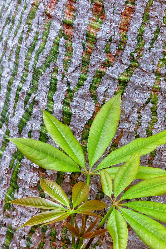 Close up of Silk Floss Tre (Ceiba Speciosa) New spring growth leaves and bark. California