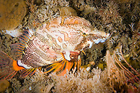 Grunt Sculpin (Rhamphocottus richardsoni) underwater off Victoria, British Columbia, Canada.