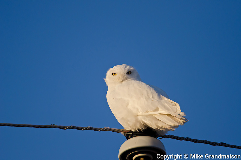 Snowy owl (Bubo scandiacus) perched on hydro line<br /> near Altona<br /> Manitoba<br /> Canada