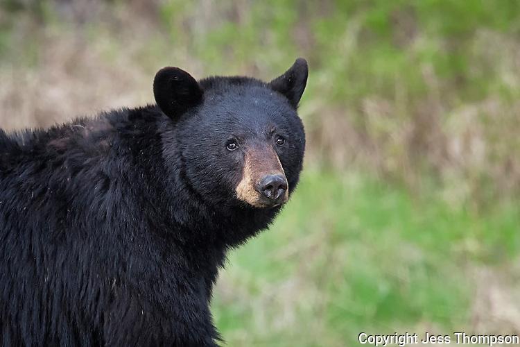 Black Bear, Yellowstone National Park, Wyoming