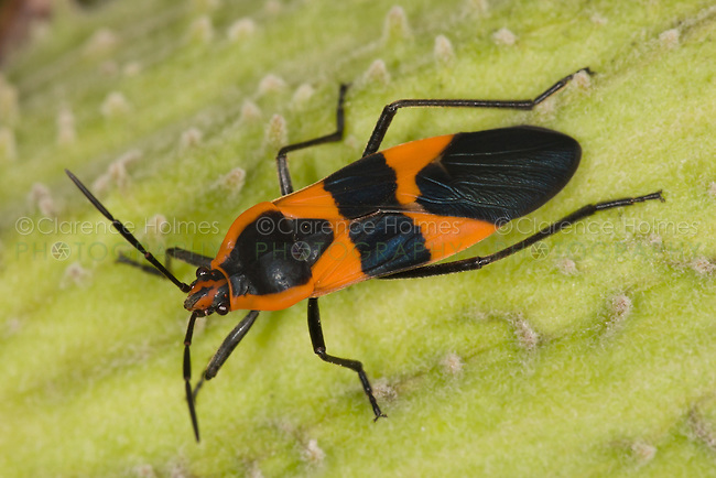 Large Milkweed Bug (Oncopeltus fasciatus),  Ward Pound Ridge Reservation, Cross River, Westchester County, New York