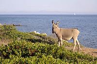 - Sardegna, isola dell' Asinara, asini allo stato brado, tipici dell'isola<br /> <br /> - Sardinia, Asinara island, wild donkeys, typical of the island