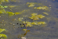 Female Twelve-spotted Skimmer Dragonfly (Libellula pulchella) laying eggs in small pond.  Pacific Northwest.  Summer.