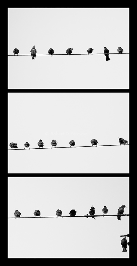 Birds on a Wire - triptych, b&W