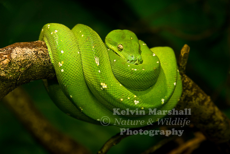 Green Tree Python (Morelia viridis) is a species of python found in New Guinea, islands in Indonesia, and Cape York Peninsula in Australia.An unmistakable arboreal or tree-dwelling python, the adult green tree python is emerald green in colour with a yellowish belly. Occasional specimens also have small white markings along the back. Hatchlings on the other hand, are quite different, emerging from the egg a bright sulphur yellow or sometimes reddish-orange, changing into the adult colouration after 1-2 years. Green pythons are relatively short, stout-bodied snakes rarely exceeding 1.5-1.8m in length. Like all pythons they are non-venomous bat are armed with an impressive set of long recurved teeth to enable them to maintain a grip on their struggling prey amongst the branches.