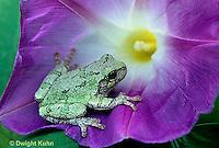 FR10-045z   Gray Tree Frog -  Hyla versicolor