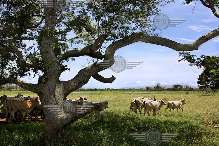 A herd of cows stand in the shade under a tree on the banks of the Magdalena River. /Felix Features