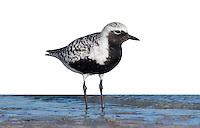 Black-bellied Plover Pluvialis squatarola Adult summer plumage