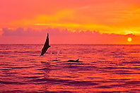 silhouette of Hawaiian spinner dolphins, Stenella longirostris longirostris, leaping at sunset off Kealakekua Bay, Big Island, Hawaii, USA, Pacific Ocean