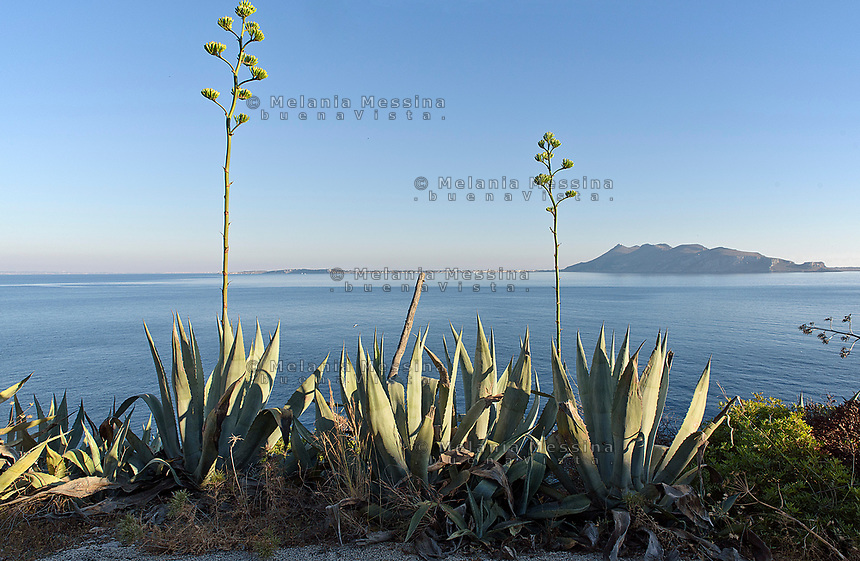 Le agavi del lungomare di Levanzo, sullo sfondo Favignana.<br />